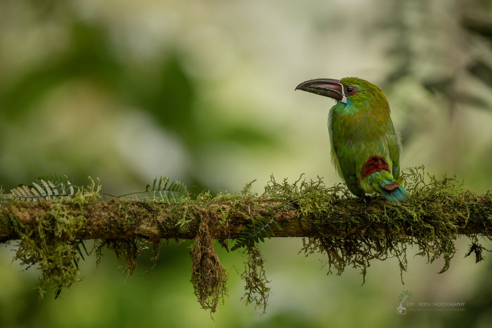 Crimson-rumped Toucanet in cloud forest, Ecuador