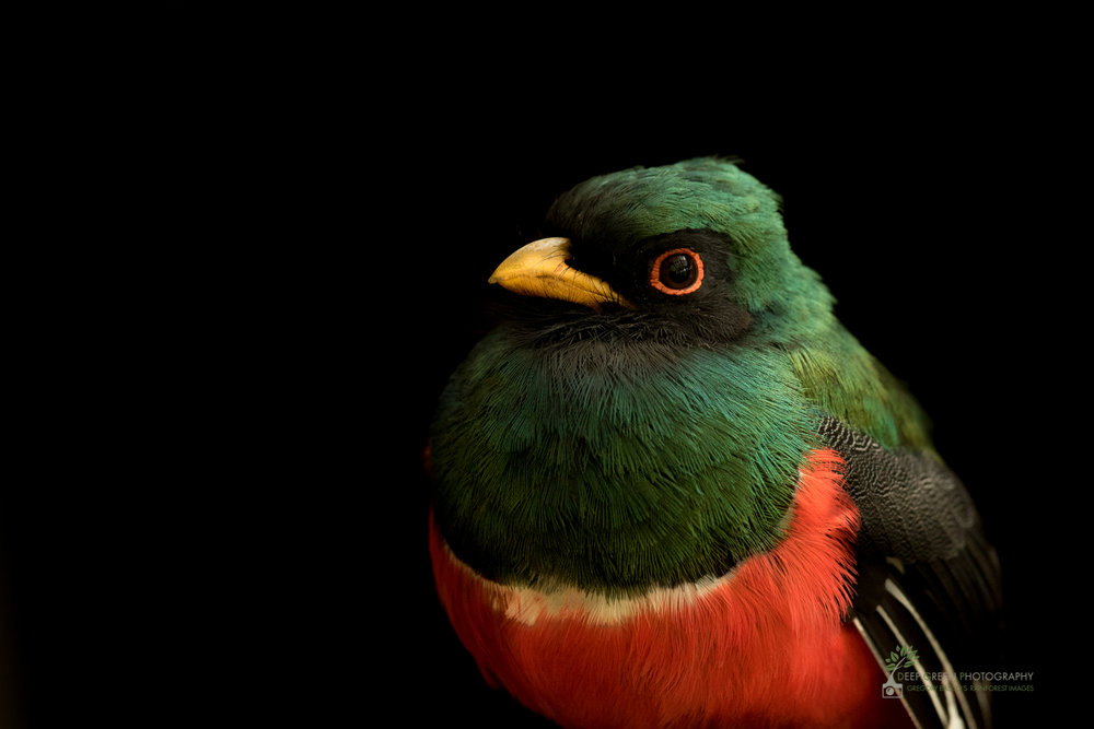 Masked Trogon male, cloud forest, Ecuador