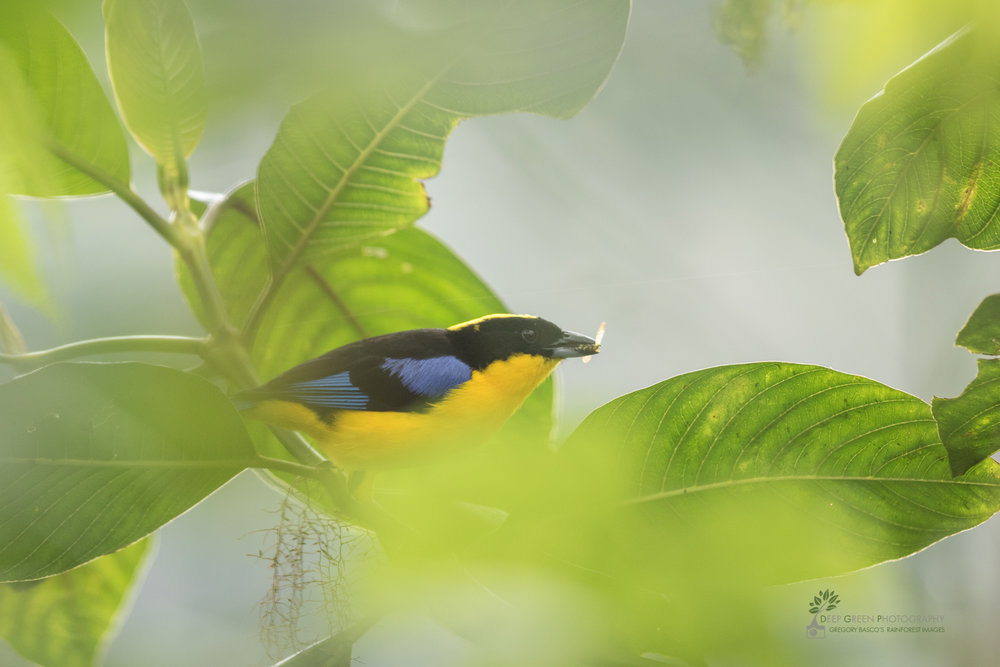 Blue-winged Mountain Tanager, cloud forest, Ecuador