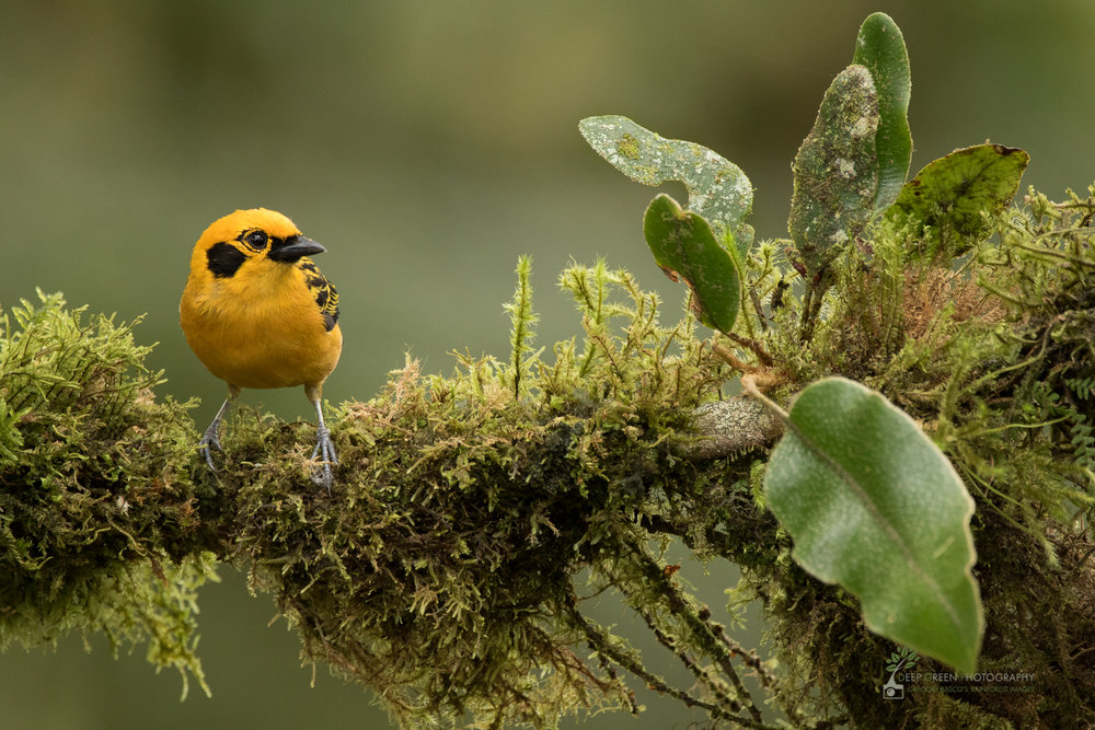 Golden Tanager, cloud forest, Ecuador