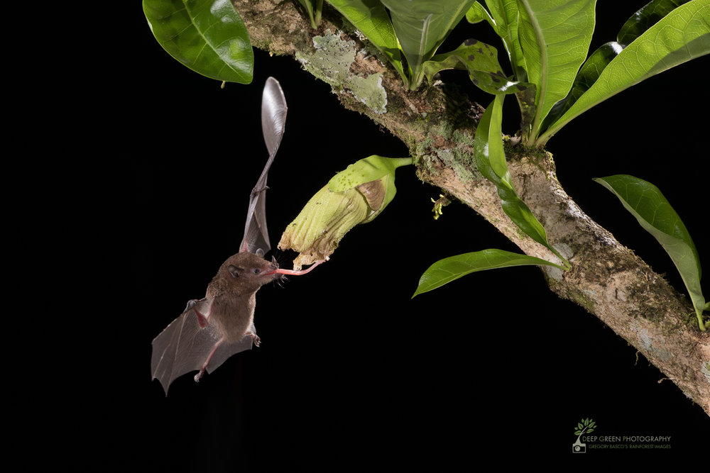 Pallas' Long-tongued Bat visit a Calabash gourd flower (Crescentia cujete) in Costa Rica
