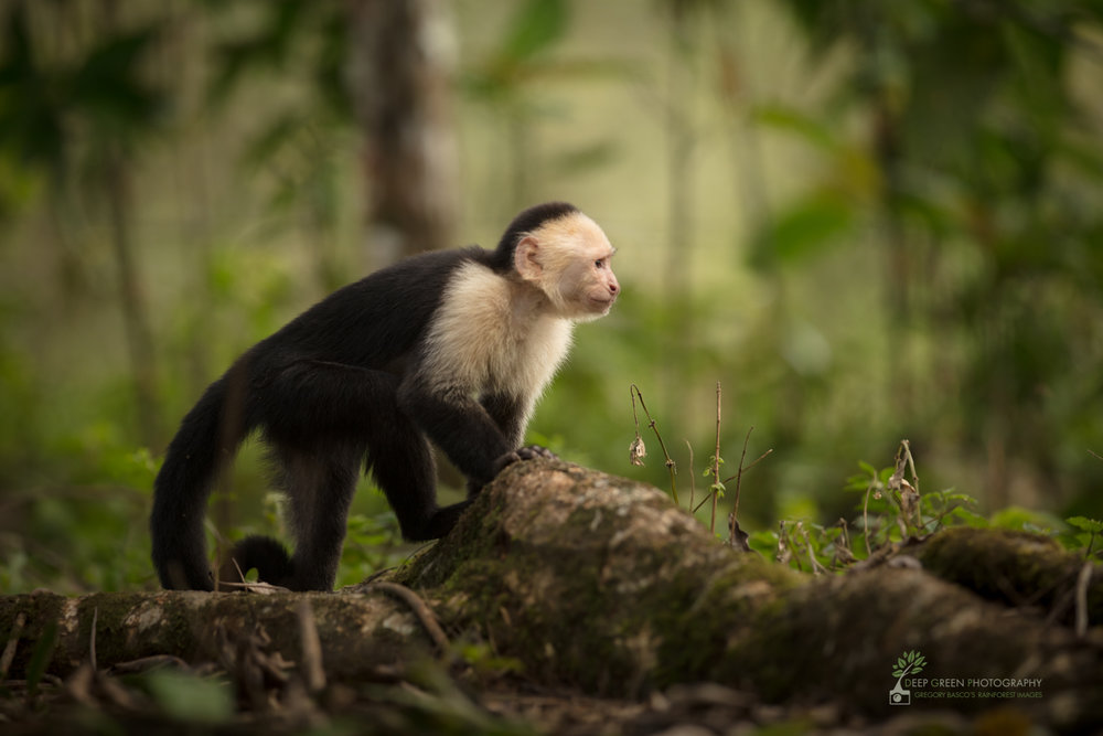 A white-faced capuchin monkey on a rainforest floor in northern Costa Rica