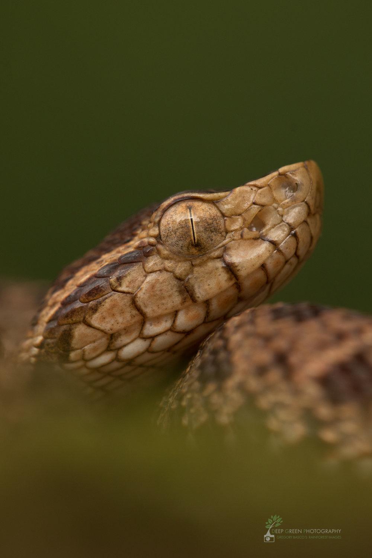 Juvenile fer-de-lance, Costa Rica