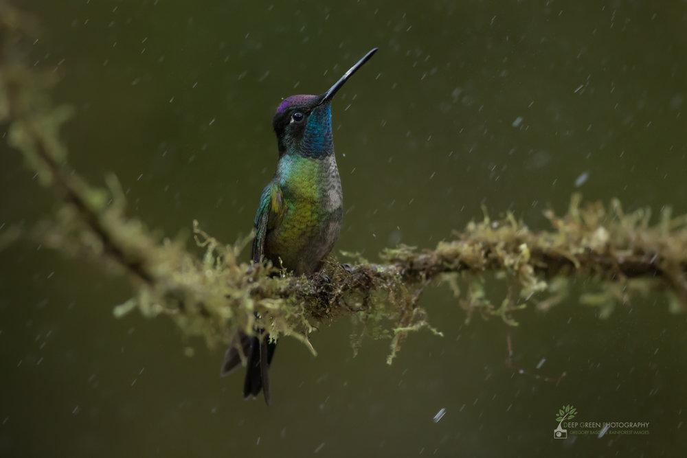 A male Magnificent Hummingbird enjoys the rain in highland Costa Rica