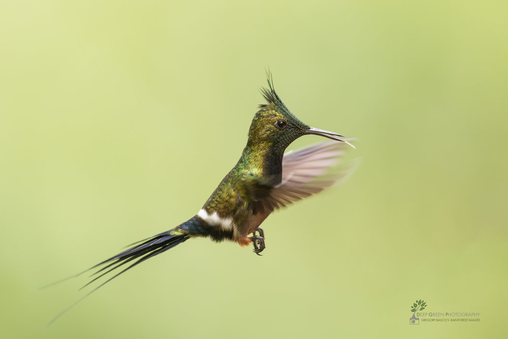 A Wire-crested Thorntail humminbird hovers in a rainforest in Ecuador