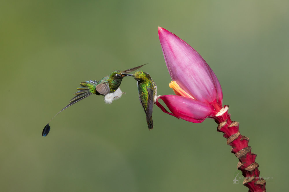 Booted Racket-tail male and female squabble over flower, Ecuador