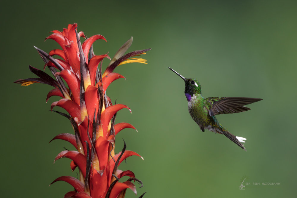 Purple-bibbed Whitetip visiting native bromeliad flower, Ecuador