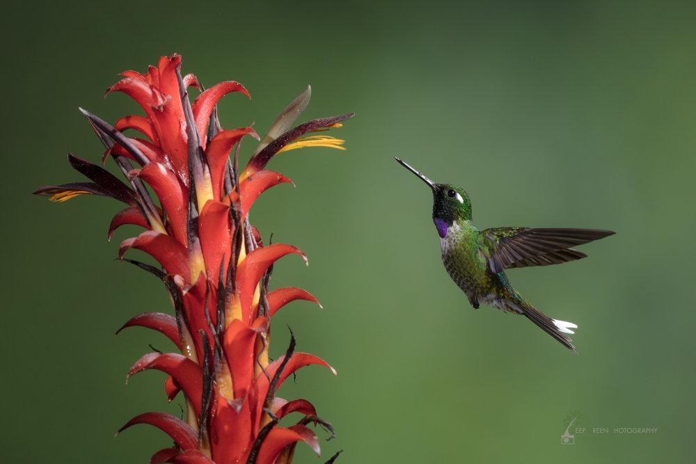 Purple-bibbed Whitetip visiting native bromeliad flower, Ecuador