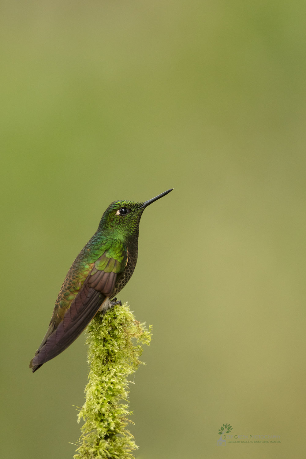 Buff-tailed Coronet in cloud forest, Ecuador