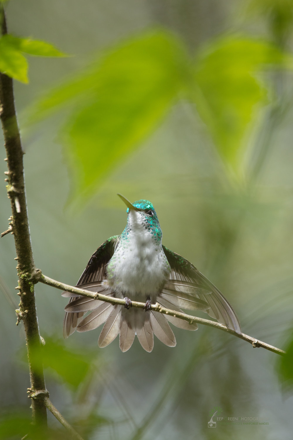 Andean Emerald hummingbird, cloud forest, Ecuador