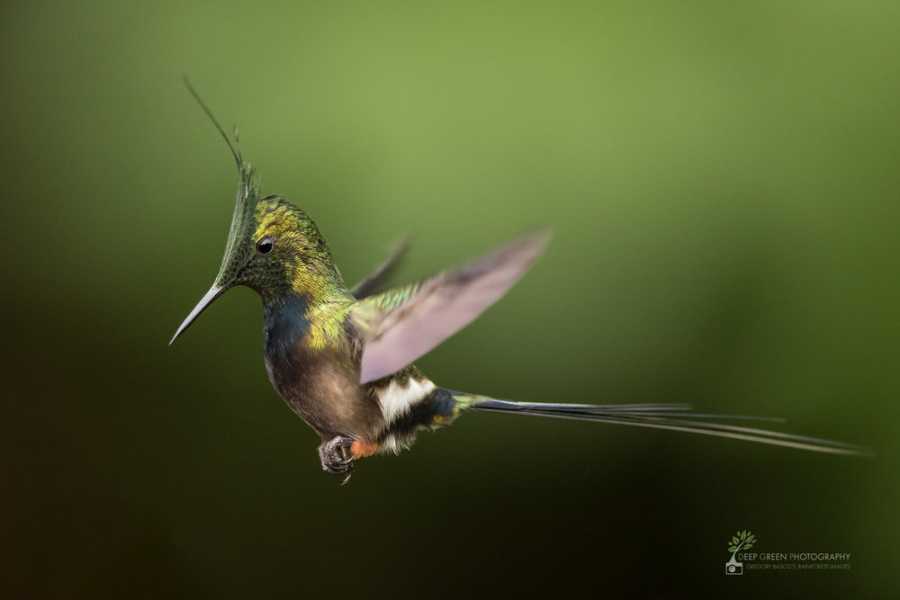 A wire-crested thorntail hummingbird hovers in a rainforest in the Amazon foothills of Ecuador