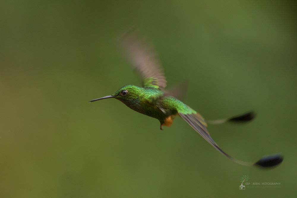 A booted racket-tail hummingbird hovers in a rainforest in the Amazon foothills of Ecuador