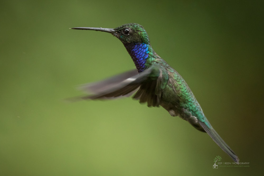 A Napo Sabrewing hummingbird hovers in a rainforest in the Amazon foothills of Ecuador