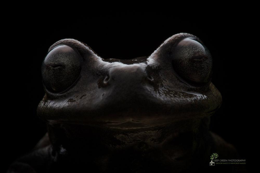 Linda's Tree Frog (Hyloscirtus lindae), cloud forest, Ecuador