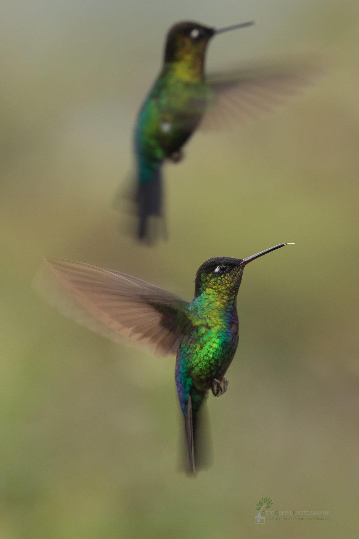 DGP-stock-hummingbirds-137.jpg