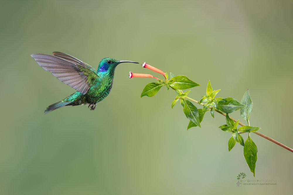 DGP-stock-hummingbirds-139.jpg