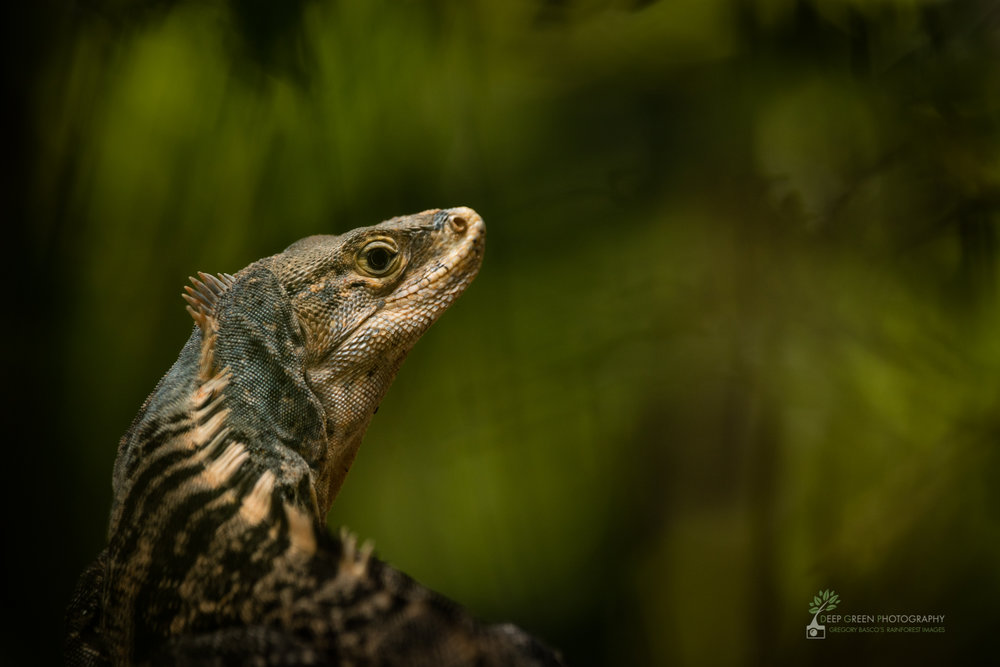 Spiny iguana, Manuel Antonio National Park, Costa Rica