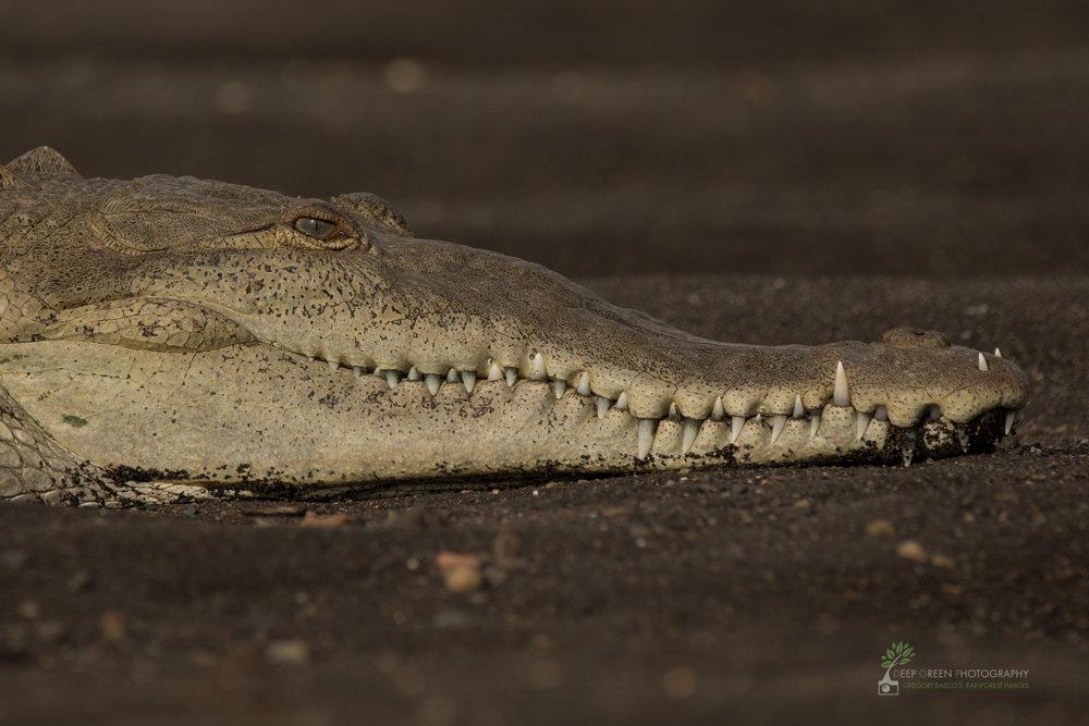 American crocodile, Tarcoles River, Costa Rica