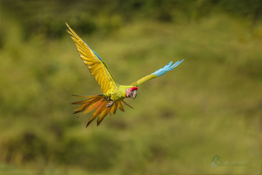 Costa Rica, tropical birds, macaw, rainforest