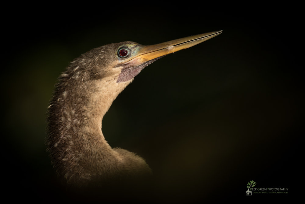 Anhinga, Tortuguero National Park, Costa Rica