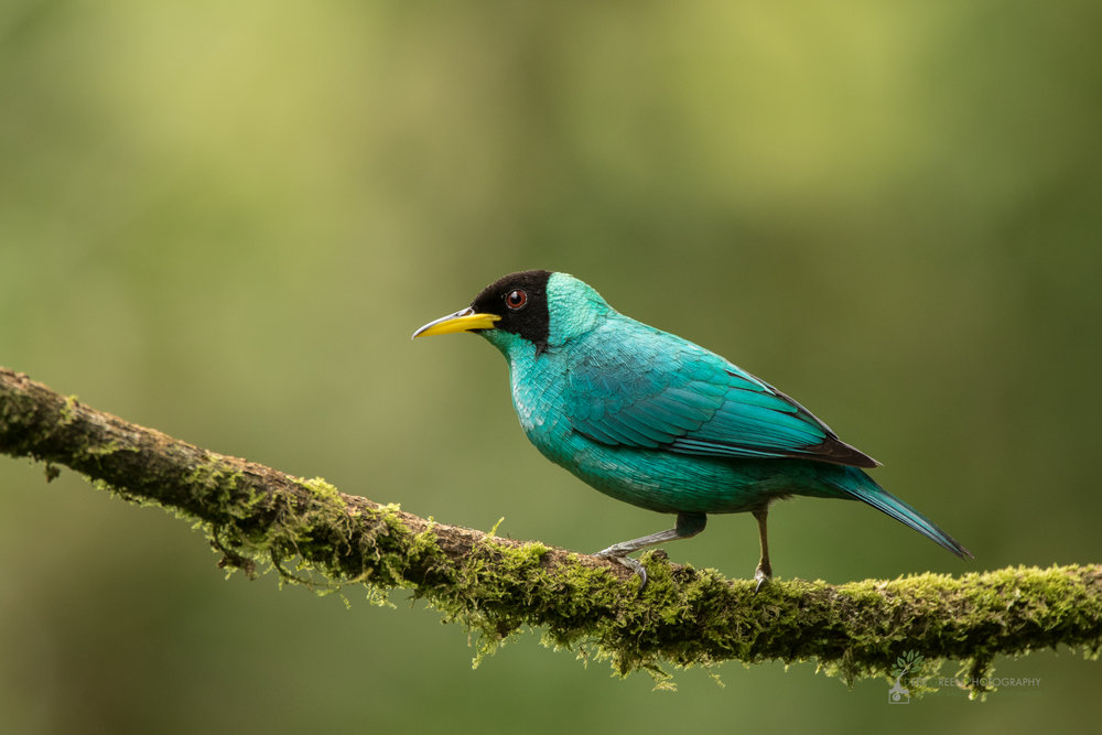 Green Honeycreeper, rainforest, Costa Rica