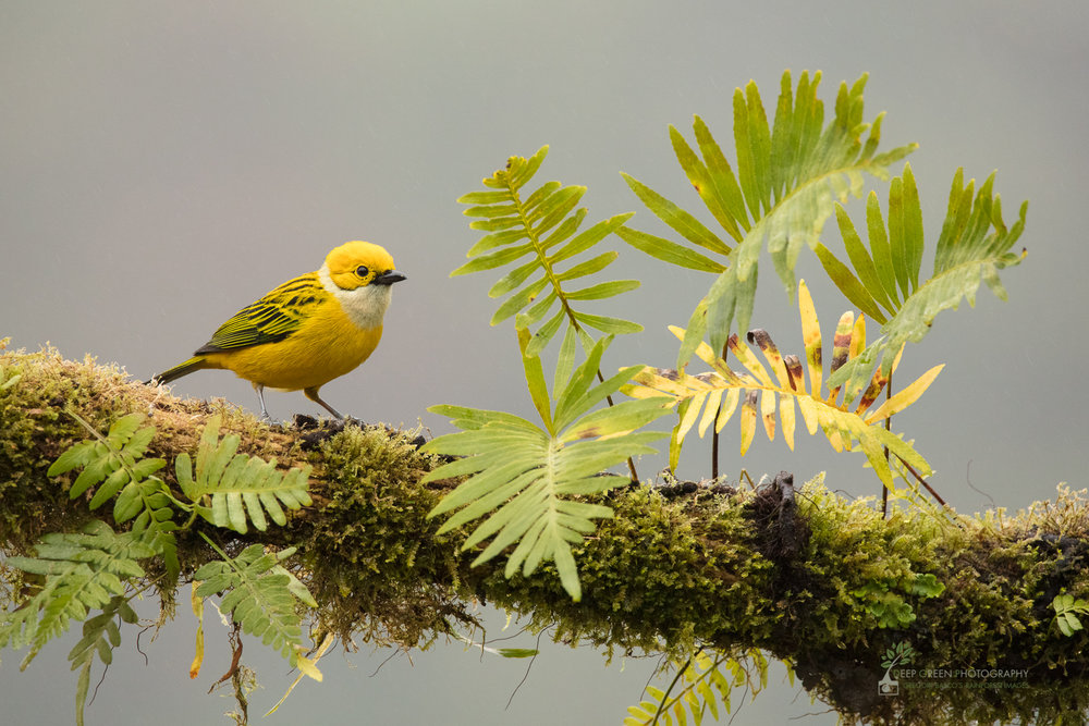 Silver-throated Tanager, cloud forest, Costa Rica