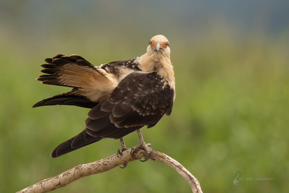 Yellow-headed Caracara, Costa Rica