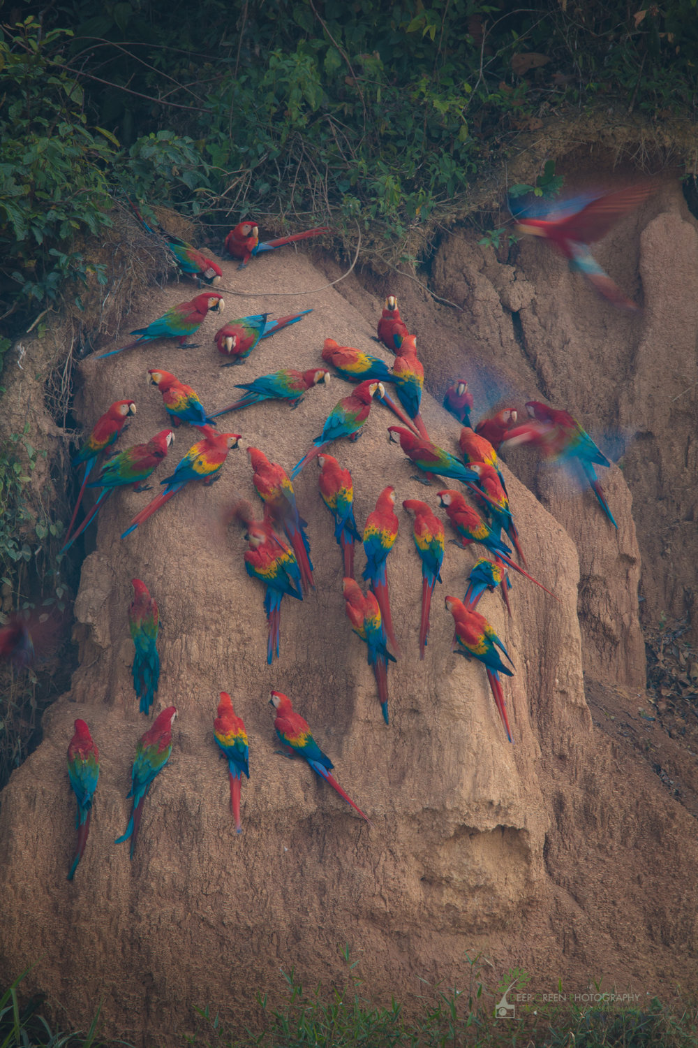 Red and Green Macaws eating from a clay lick, Amazon, Peru