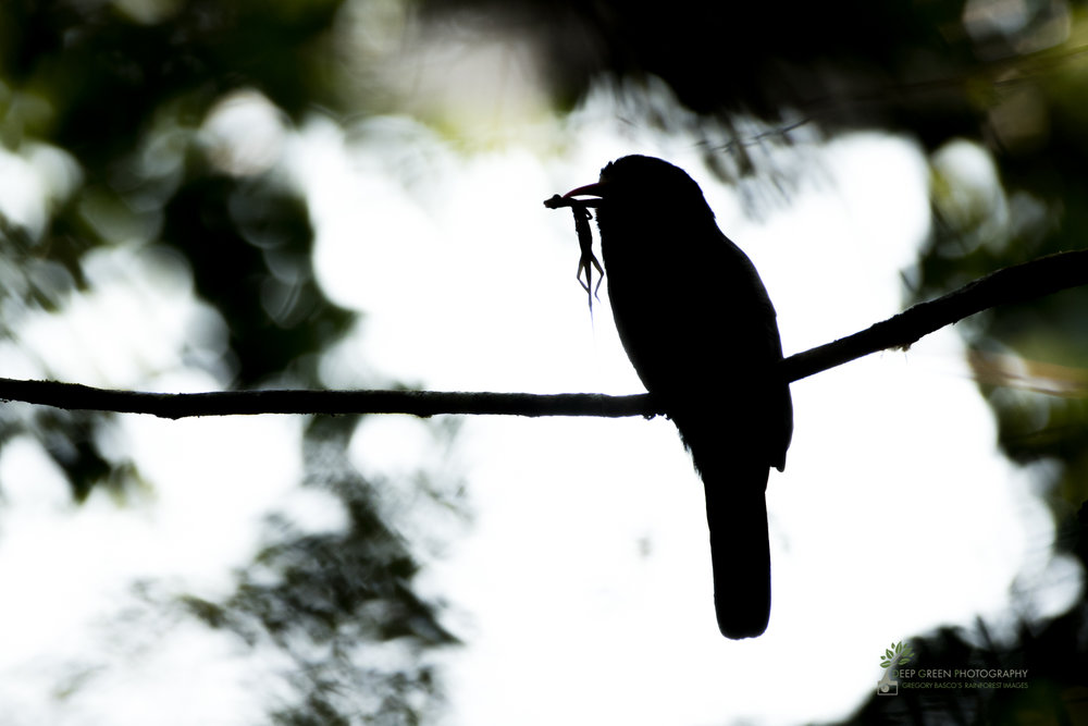 A nunbird with lizard prey, amazon rainforest, Peru