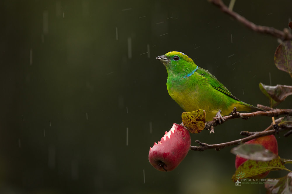 Golden-browed Chlorophonia in apple plantation, cloud forest, Costa Rica