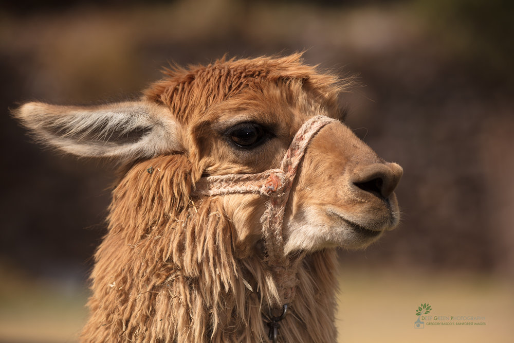 An alpaca, important to the Inca people for centuries as a source of clothing and food