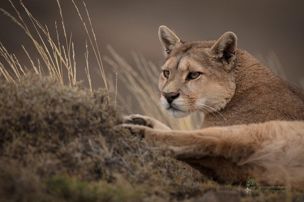 Puma, Torres del Paine National Park, Chile