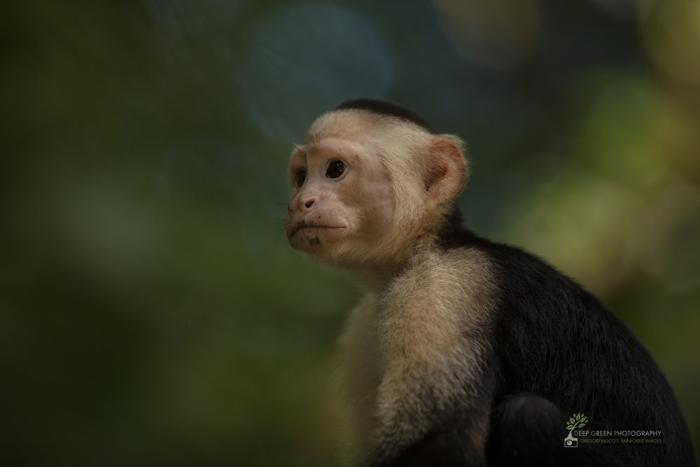 White-faced Capuchin Monkey, Tortuguero National Park, Costa Rica