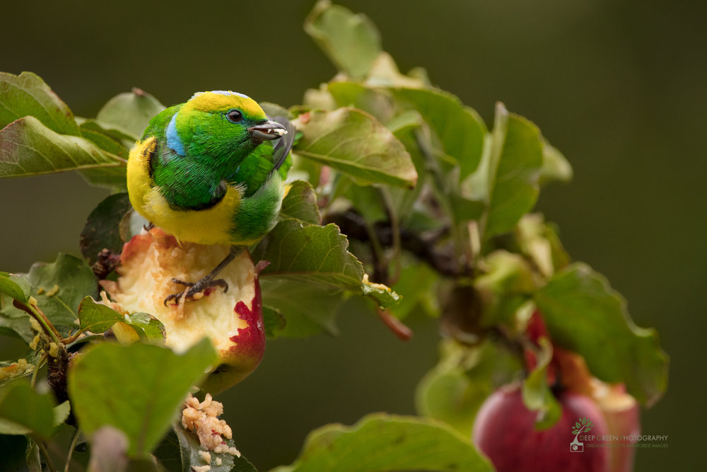 Golden-browed Chlorophonia in apple plantation, highlands, Costa Rica