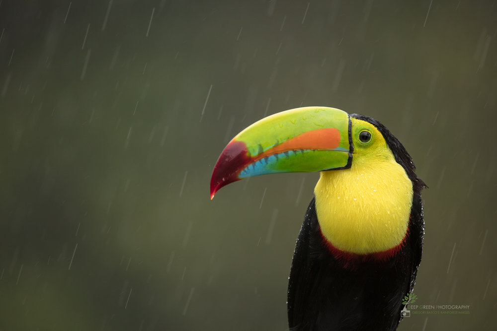 Keel-billed Toucan in rain, Costa Rica