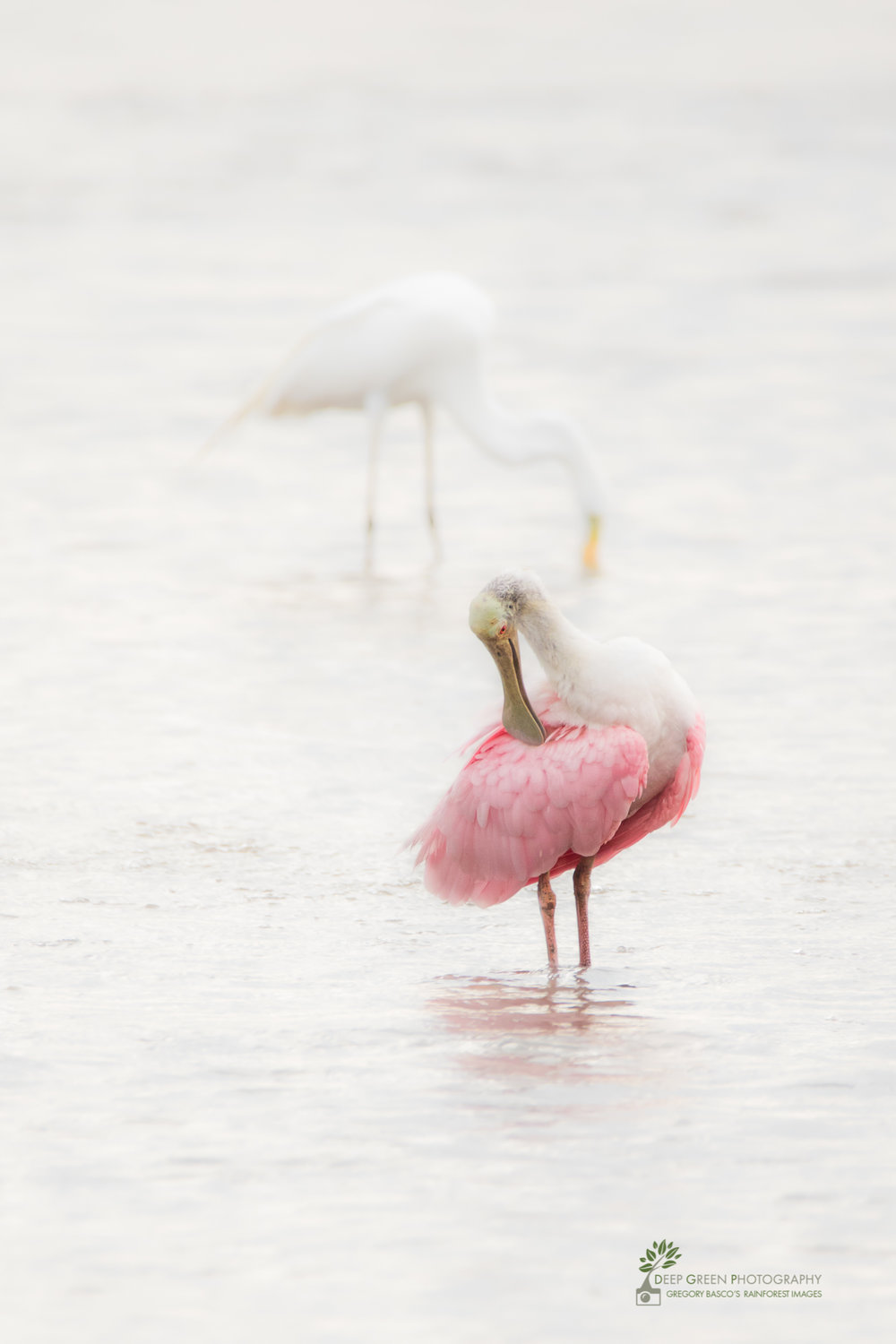 A roseate spoonbill preens while a great egret fishes on Costa Rica's Tarcoles River on a rainy day.