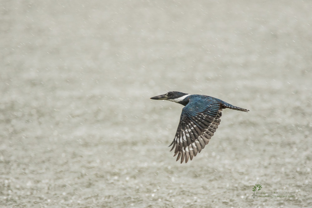 A belted kingfisher flies over Costa Rica's Tarcoles River during an afternoon thunderstorm.