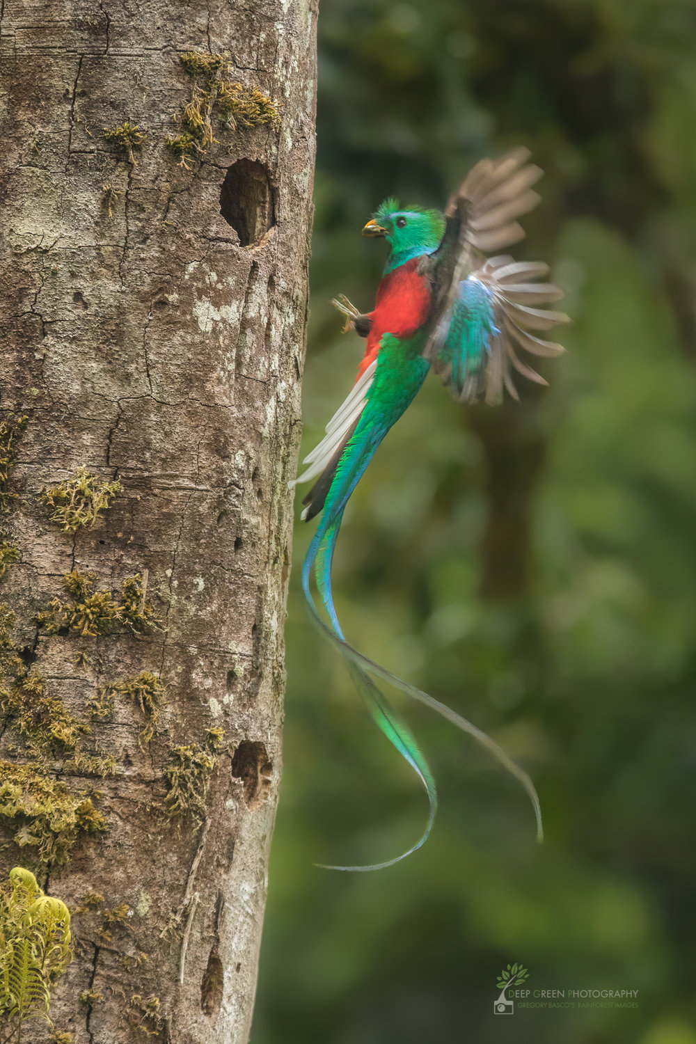 A male Resplendent Quetzal delivers prey to its chicks in a cloud forest in Costa Rica
