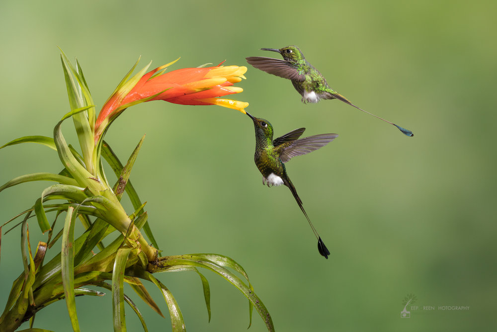 Booted racket-tail hummingbirds visit a bromeliad flower, Ecuador