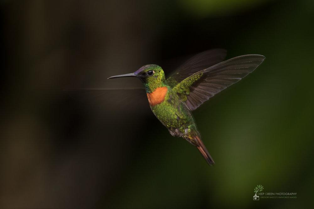 Gould's Jewelfront, Ecuador