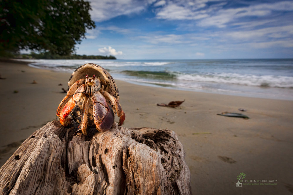 a hermit crab on a secluded beach in Costa Rica's Cahuita National Park