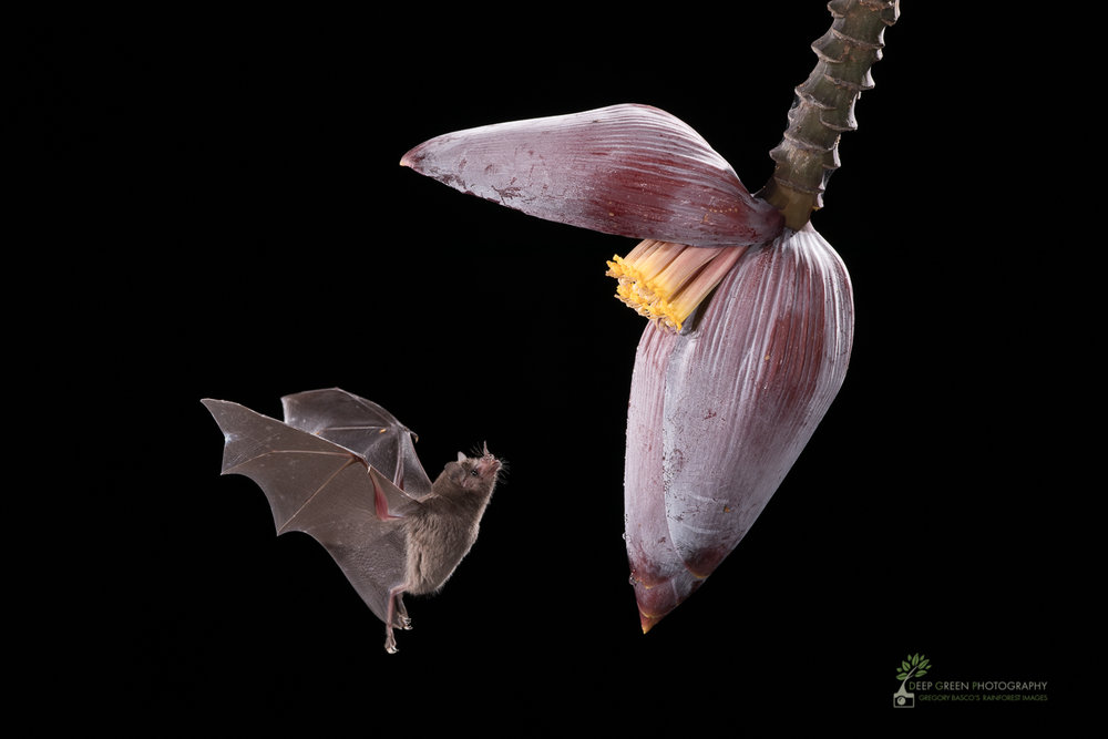 A Pallas' Long-tongued Bat visits a banana flower, Costa Rica