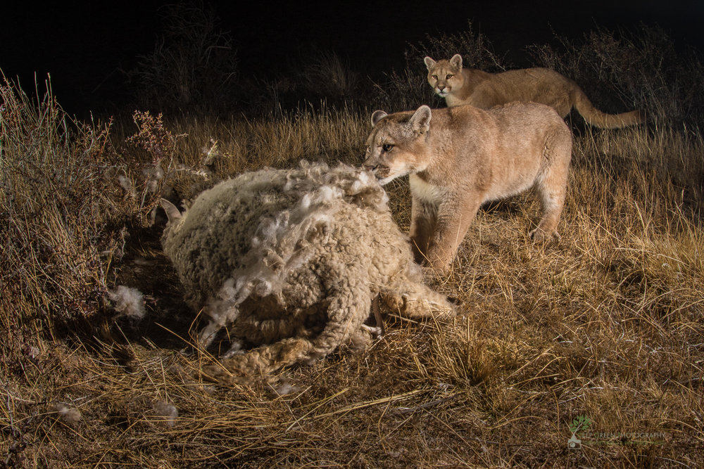 Puma (Puma concolor) feasting on a domestic sheep (Ovis aries) carcass on the outskirts of the Torres del Paine National Park in Chile. There is a growing conflict in the region between sheep farmers and conservationists because the puma, symbol of conservation in the area, has discovered sheep to be easy prey. Farmers have been known to hunt pumas to avoid losses to their flocks.