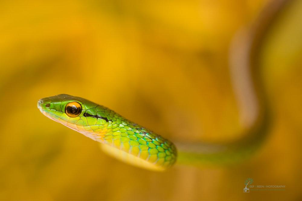 Satiny parrot snake (Leptophis depressirostris)