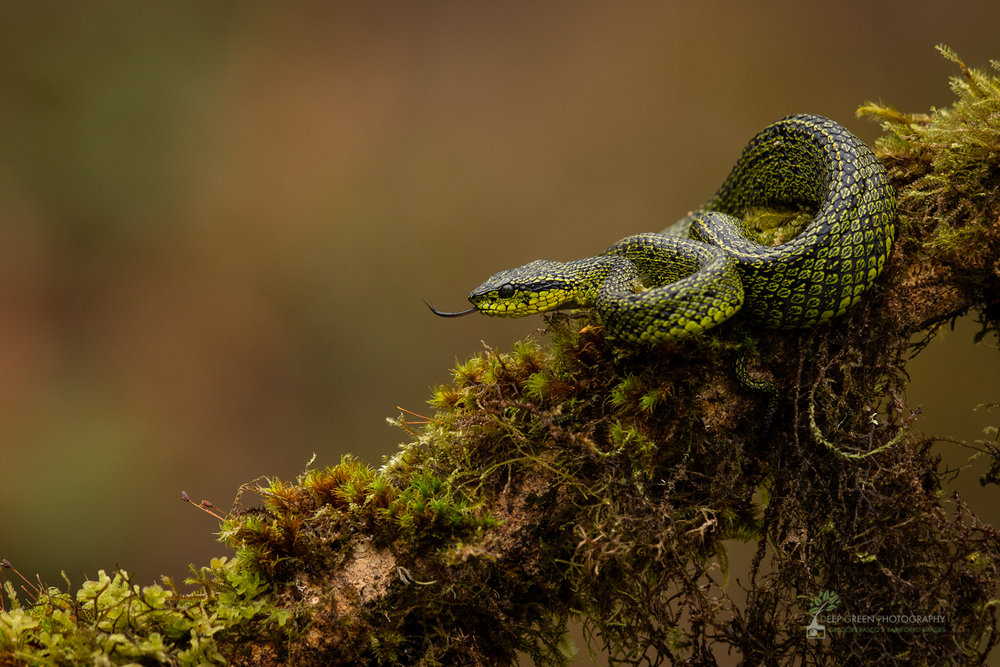 Speckled palm pit viper (Bothriechis nigroviridis), Talamanca Mountains, Costa Rica