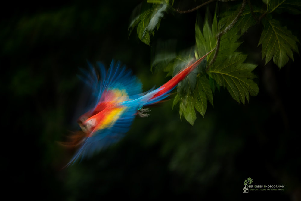 Scarlet macaw takes flight, lowland rainforest, Costa Rica