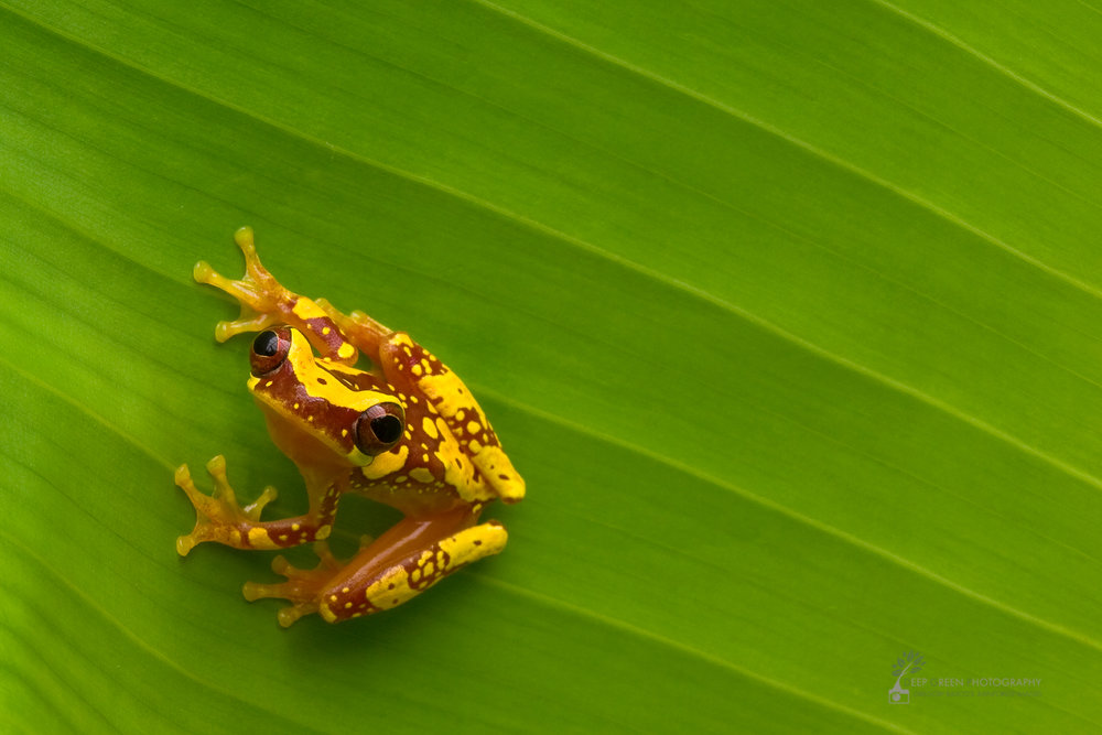 Hourglass tree frog (Hyla ebreccata), Costa Rica