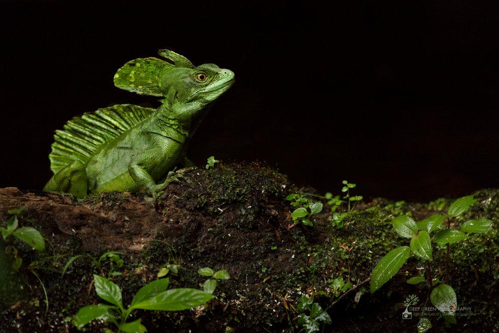Emerald basilisk lizard, Costa Rica