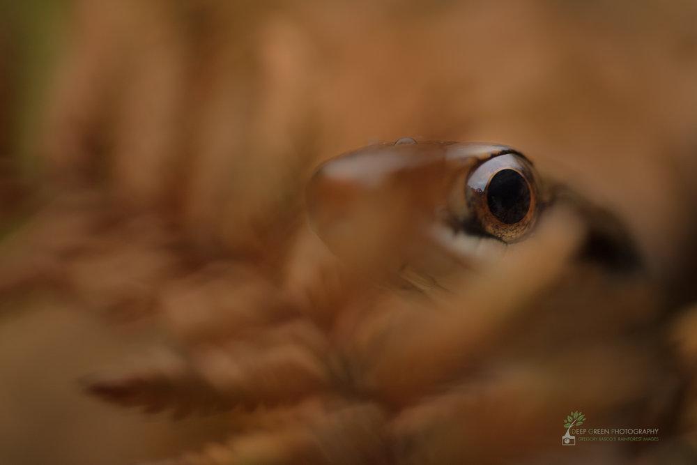 Speckled racer (Drymobius margaritiferus), Costa Rica