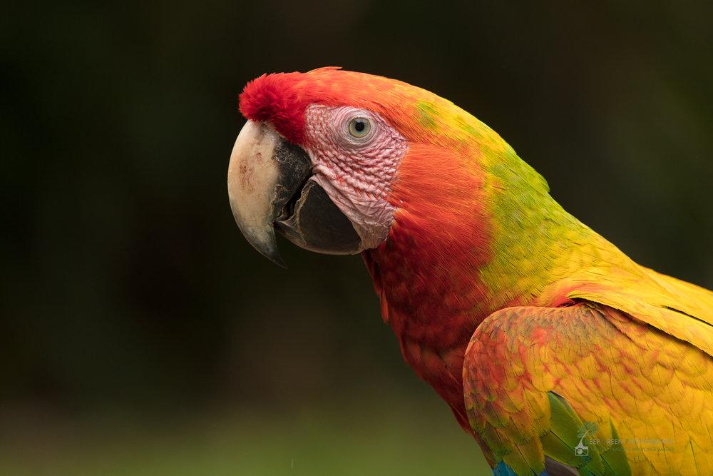 Hybrid macaw (Ara macao x ambigua), Costa Rica
